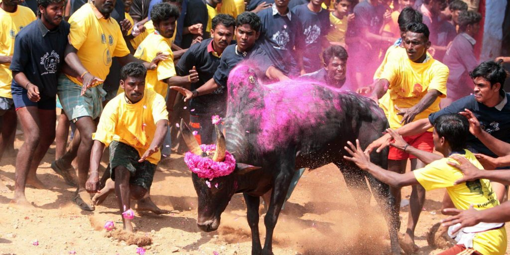 Jallikattu Tradition festival Tamil Nadu in south india